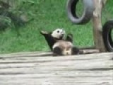 Baby Panda Bear Dancing In China