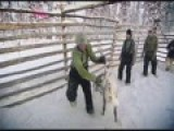 Reindeer Castration - Old School Style