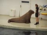 Walrus Aerobics