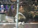 Crazy Lion Attacked A Man In The Zoo