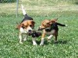 Skyview&apos S All The Way Maye & Jennie NWV Beagle Club 4-4-08