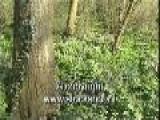 Vingerhelmbloem - Corydalis Solida