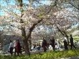 Why Do Japanese Love Cherry Blossoms?