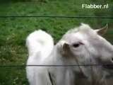 Goat Meets Electric Fence