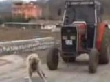 World's Strongest Dog Pulls Tractor