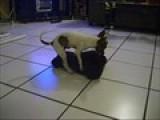 Chihuahua Haciendo El Amor