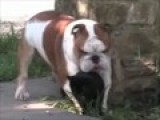 Dog Humping Cat