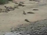 Elephant Seals At Drake&#39 S Bay-Point