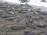 California Elephant Seals