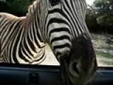 Young Belle Feeds Zebra