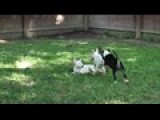 AKC Bull Terriers For Sale