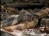Cobra - VS - Rat Snake