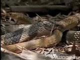 Cobra - VS - Rat Snake