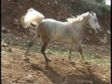 El-Sharif, Egyptian Arabian Mating Horse
