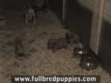 Puggles Puppy