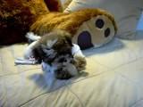 Shorkies!! New Breed Of Dog Www.shorkie-puppies.net