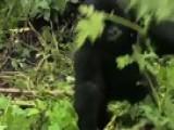 Gorilla Zen Den