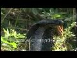 King Cobra - A Deadly Venomous Snake